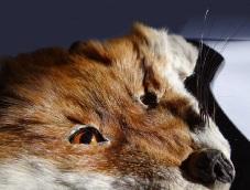 روباه تاکسیدرمی پوست
