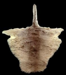 پوست کانگرو پوست کانگورو