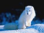 روباه برفی روباه قطبی